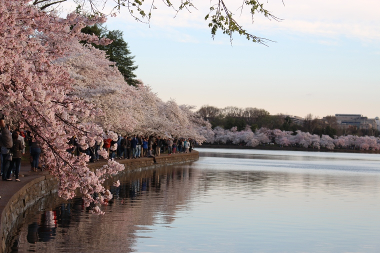 Cherry Blossoms at Tidal Basin, Taken by Jamie Luu