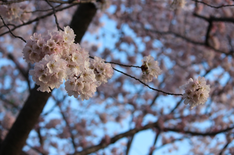 Cherry Blossoms, Taken by Jamie Luu
